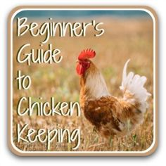 How to raise chickens - a beginner's guide. Herbs For Chickens, Laying Chickens, Raising Backyard Chickens, Urban Chickens, Baby Chickens, Keeping Chickens, Backyard Chicken Coop Plans, Chicken Garden, Chicken Roost