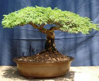 sweet_acacia_bonsai3