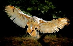 Обои картинки фото птица, сова, крылья, полет