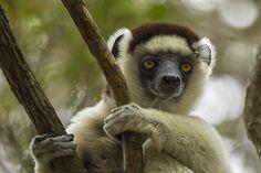 Madagascar's Dwindling Forests and Their Linked Lemurs Primates, Mammals, Nature Research, Forest Habitat, Environmental Degradation, Lemurs, Rainforests, Long Shot, Wildlife Conservation