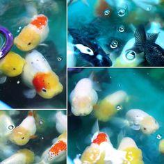 Sakura Ranchu ChubbyCheekers & WiggleButts — Some of my ECR Breeders