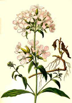 Saponaria officinalis, Soapwort. Good for laundry as it's a gentle detergent, good for magical cleansing. Not very edible, toxic to fish.