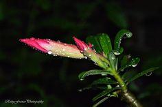 "Photo ""Plumeria,aftertherain"" by rubyfranco"