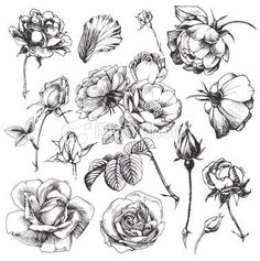 Illustration about Flower set: highly detailed hand drawn roses. Illustration of elegant, floral, decoration - 23044428 Vintage Clip Art, Et Tattoo, Illustration Blume, Illustration Flower, Botanical Illustration Black And White, Tattoo Illustration, Nature Illustration, Drawing Hands, Plant Drawing