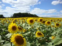 Sunflowers are so gorgeous! I took this picture in Jarrettsville,MD...fields of Sunflowers :):)