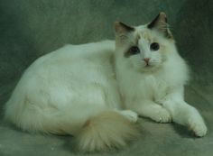 Glory, a chocolate tortie bicolor owned by Lonerock Ragdolls, Sue ...