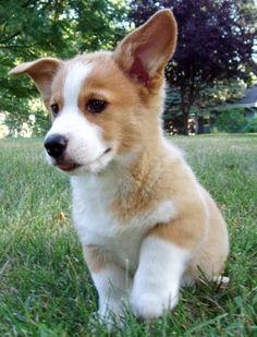 corgi pup: corgi puppy