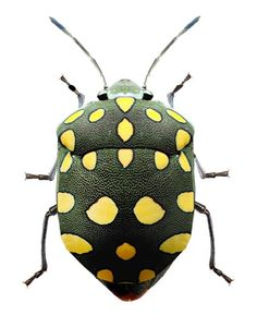 "Pachycoris torridus is popularly known as ""stink bug Beetle Insect, Beetle Bug, Insect Art, Cool Insects, Bugs And Insects, Shield Bugs, Cool Bugs, A Bug's Life, Beautiful Bugs"