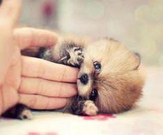 baby racoon