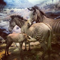 Zebras in the Akeley Hall of African Mammals via @icanreal • Instagram