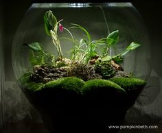 My BiOrbAir terrarium, as pictured on the May Inside this terrarium, Restrepia purpurea 'Rayas Vino Tinto' and Phalaenopsis parishii are in full flower, and the flowers of Lepanthopsis astrophora 'Stalky' are just finishing. Bottle Garden, Planting Flowers, Plants, Growing Plants, Terrarium Plants, Beautiful Orchids, Terrarium, Easy Garden, Miniature Orchids