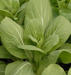 This leafy vegetable should be sown in August. Cute, compact, and great for the urban gardener and homesteader alike.