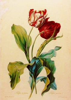 Tulip des jardins, Flower Print, 19th Century Artist Illustration (Book Plate No. 39)