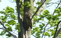 An Eastern Screech-Owl perched along the boardwalk was a daily sight. Sometimes it was perched high above though presenting challenging and less flattering views! - Leica V-Lux 3 #biggestweek https://www.facebook.com/photo.php?fbid=444659508895760=a.444659055562472.117192.355103211184724=3