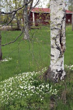 in May, in Finland Birken, Finnish Sauna, What A Wonderful World, Summer Of Love, Shades Of Green, Spring Time, Wonders Of The World, Habitats, Countryside