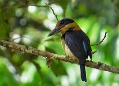 Znalezione obrazy dla zapytania Winchell's kingfisher, Todirhamphus winchelli
