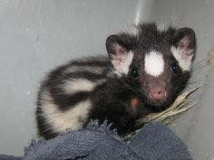 Baby Spotted Skunk.