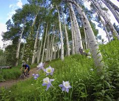 Columbines alongside Mane Lane trail. Vail Mountain. Vail, Colorado.