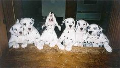 dalmation dog photo | Blueroof's Lily, Reed, Randy (again, singing), Rudy, Ruby and Rebecca.