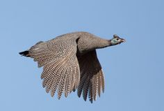 South African Guinea Fowl