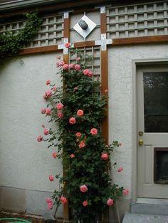 Rosegasms Cold Hardy Climbing Roses