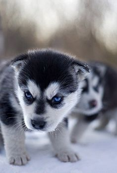 watch out for the husky pup