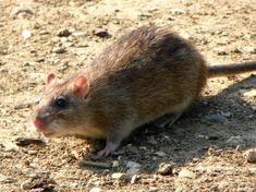 There are many kinds of rats that inhabit the warm region of Arizona. Know the difference between roof rats, norway rats, and pack rats in this article. Norway Forest, Norway Nature, Norway Places To Visit, Cool Places To Visit, Nutrition Food List, Healthy Nutrition, Norway Travel, Ireland Travel, Ontario