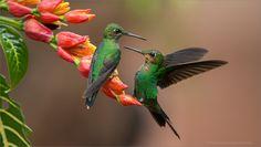hummingbirds costa rico - Google Search