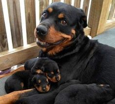 Rottweiler mom with puppies. Such good dogs Little Puppies, Cute Puppies, Cute Dogs, Puppies Tips, Rottweiler Love, Rottweiler Puppies, Baby Animals, Funny Animals, Cute Animals