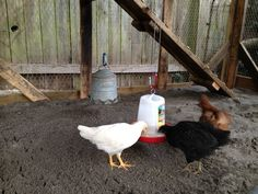 """Coop - Girlies eating.  We use sand for the base.  They enjoy diging in it, and catching the bugs.  We sprinkle cracked corn and other treats all around so they have plenty to search for in addition to their mash.  The sand is easy clean-up - rakes right up.  Can also be shoveled into a """"classifier"""" (sifter mesh) - but doesnt need cleaning often."""