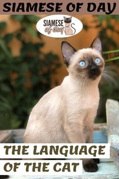 Since we don't use the same language as our cat, sometimes we are confused by its behavior. We sometimes think that he is disobedient or stubborn when his behavior is perfectly normal for a cat. However, by better understanding how cats communicate and, for example, why they meow, it is possible to live with them in perfect harmony #siamese #siameseofday #cats #pets #kittens #Blog #cattips #cathealth #kitten #justcats Siamese Cats, Kittens, Michael Fox, Means Of Communication, Kitten Care, Scratching Post, Happy Relationships, Cat Health, Understanding Yourself