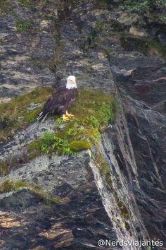 Bald Eagle - Alaska - USA