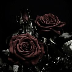 Red rose for you Flowers Nature Background Wallpapers on Dark Red Roses, Black Flowers, Purple Roses, Rose Flowers, Arte Obscura, Pierce The Veil, Red Aesthetic, Beautiful Roses, Beauty And The Beast