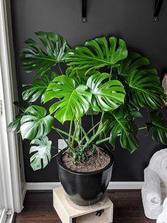 Plante Monstera, Monstera Deliciosa, House Plants Decor, Plant Decor, Planta Alocasia, Tall Potted Plants, Household Plants, Pothos Plant, Decoration Plante