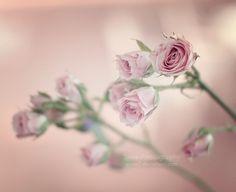 Mini roses by Essa Al Mazroee, via 500px