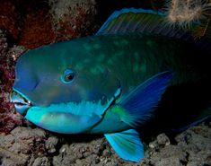 """Papageifisch, Parrotfish, ปลานกแก้ว, 鹦哥鱼 #etwa 80 Arten #""""Papageienschabel-Zähne"""" #Algenfresser #Hermaphrodit (#Speisefisch, (Papaya-Restaurant, Phra Ae)"""