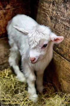 LOve baby sheep :) More