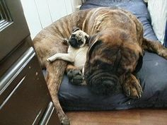 tibetan mastiff is an aristocrat and excellent mattress for a pug