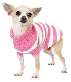 Pullover à rayures roses et blanches pour petit chien, ici chihuahua. Ces petits chiens tremblent sans arrêt, mais ce n'est pas forcément de froid.