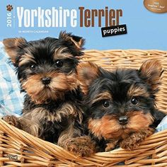 Yorkshire Terrier Puppies 2016 Wall Calendar