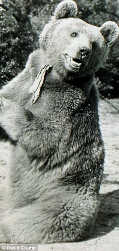 """""""During his most famous escaped, the bear volunteered to carry shells for Allied gunners during the Battle of Monte Cassino in He didn't drop a single shell. Wojtek Bear, Battle Of Monte Cassino, Poland History, Ww2 Pictures, All In The Family, Historical Maps, Vintage Photographs, World War Two, Polar Bear"""