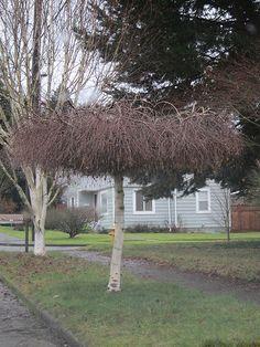 Strangely pruned birch tree by greenwalksblog, via Flickr