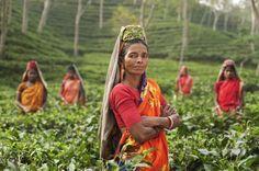 Tea pickers at Srimangal, Bangladesh
