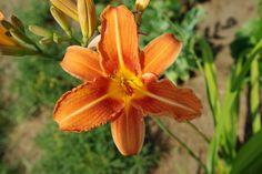 Hemerocallis fulva – Liliowiec rdzawy