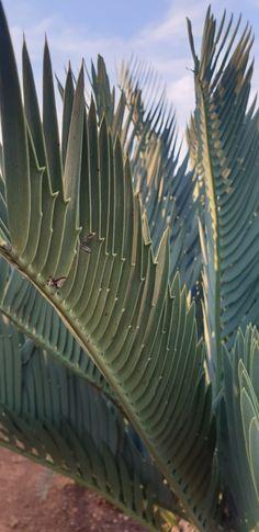 E.prinseps great Kei form Ruimsig  Nov 2019 Plant Leaves, Plants, Plant, Planets