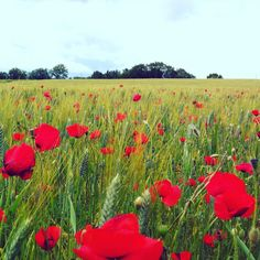 It's Poppies Time in France. Let's have a look on theses amazing landscapes #provence #myfroggy #travel #france #poppy