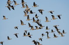A record number of 45,800 migratory pink-footed geese has arrived at Lancashire's WWT Martin Mere Wetland Centre according to counts earlier today. This beats the previous record number of 36,000 in 2010. Over the next couple of weeks, numbers will steadily increase as more of these birds make the 500 mile journey from Iceland to spend the start of winter in Lancashire. The geese will ultimately spend the winter in the south after using the North West as a service station to rest and re-fuel…