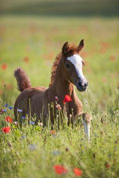 Foal | Araber Mzkumari | Christiane Slawik