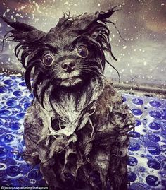 Found some funny pictures about dogs and bath time! Grooming dogs can be so much fun!  www.suffolkcaninecountryclub.co.uk