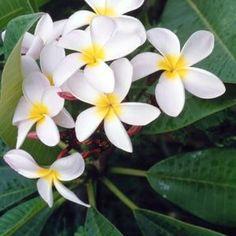Plumerias add tropical allure to the landscape.